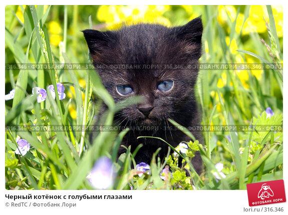 Черный котёнок с голубыми глазами, фото № 316346, снято 9 июня 2008 г. (c) RedTC / Фотобанк Лори