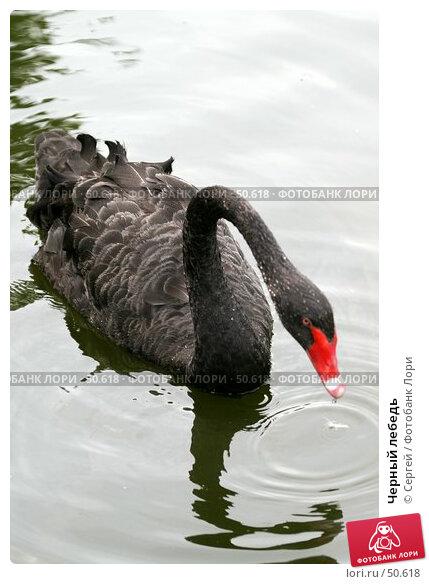 Черный лебедь, фото № 50618, снято 6 июня 2007 г. (c) Сергей / Фотобанк Лори