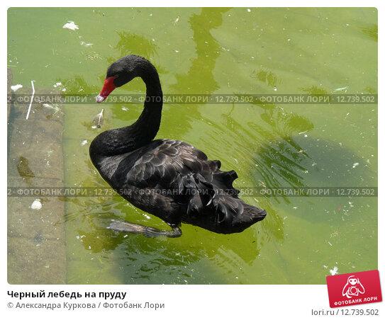 Черный лебедь на пруду. Стоковое фото, фотограф Александра Куркова / Фотобанк Лори