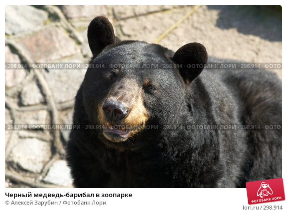 Черный медведь-барибал в зоопарке, фото № 298914, снято 22 сентября 2007 г. (c) Алексей Зарубин / Фотобанк Лори