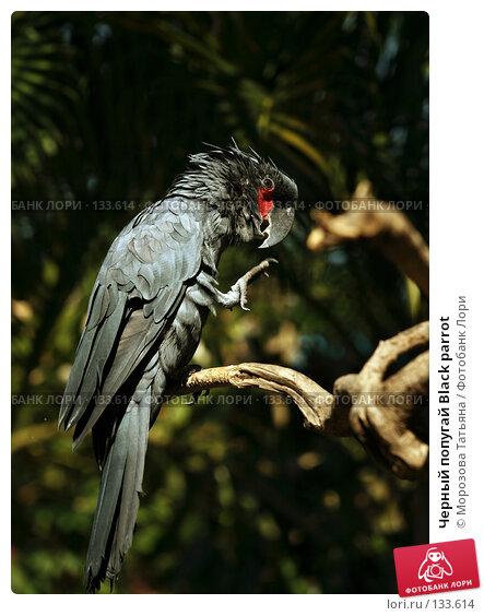 Черный попугай Black parrot, фото № 133614, снято 23 октября 2007 г. (c) Морозова Татьяна / Фотобанк Лори