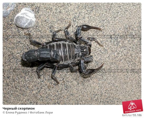 Черный скорпион, фото № 55186, снято 10 сентября 2005 г. (c) Елена Руденко / Фотобанк Лори