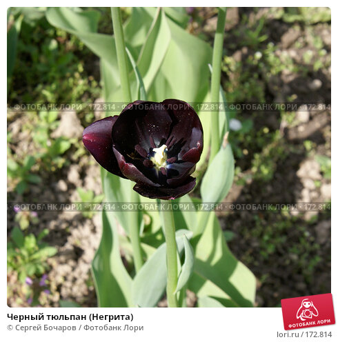 Купить «Черный тюльпан (Негрита)», фото № 172814, снято 19 мая 2007 г. (c) Сергей Бочаров / Фотобанк Лори