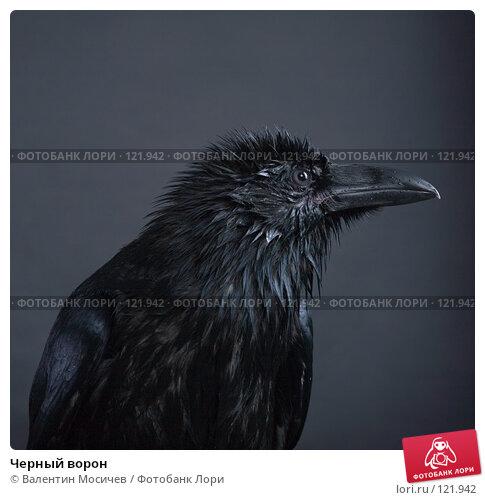 Черный ворон, фото № 121942, снято 27 октября 2007 г. (c) Валентин Мосичев / Фотобанк Лори