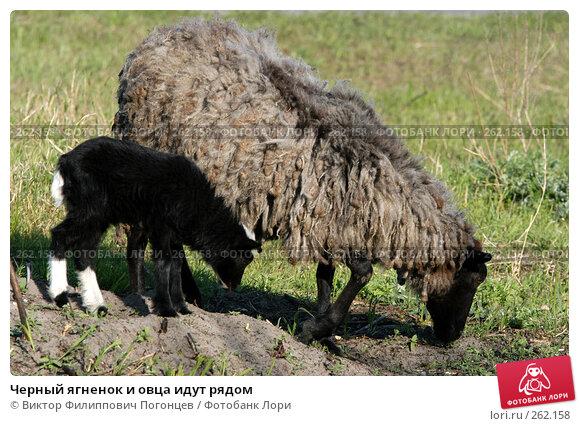 Черный ягненок и овца идут рядом, фото № 262158, снято 27 апреля 2005 г. (c) Виктор Филиппович Погонцев / Фотобанк Лори