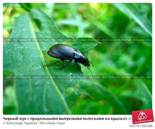 Черный жук с продольными выпуклыми полосками на крыльях на зелёном листе, фото № 100286, снято 10 августа 2005 г. (c) Александр Чураков / Фотобанк Лори
