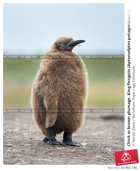 Chick in brown plumage. King Penguin (Aptenodytes patagonicus) on the Falkland Islands in the South Atlantic. South America, Falkland Islands, January. Стоковое фото, фотограф Martin Zwick / age Fotostock / Фотобанк Лори