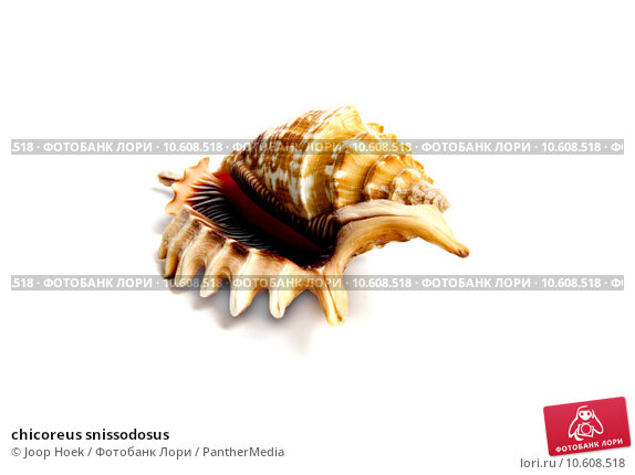 chicoreus snissodosus . Стоковое фото, фотограф Joop Hoek / PantherMedia / Фотобанк Лори