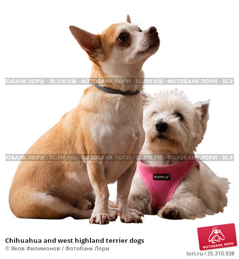 Chihuahua and west highland terrier dogs. Стоковое фото, фотограф Яков Филимонов / Фотобанк Лори
