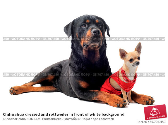 Chihuahua dressed and rottweiler in front of white background. Стоковое фото, фотограф Zoonar.com/BONZAMI Emmanuelle / age Fotostock / Фотобанк Лори