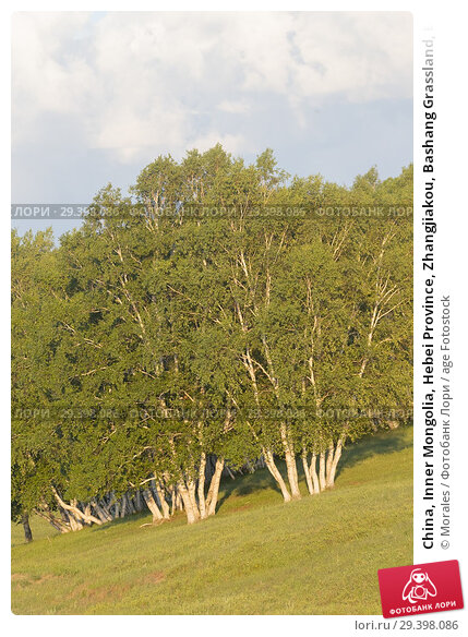 Купить «China, Inner Mongolia, Hebei Province, Zhangjiakou, Bashang Grassland, Birch forest.», фото № 29398086, снято 4 июля 2018 г. (c) age Fotostock / Фотобанк Лори