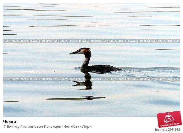 Чомга, фото № 293162, снято 17 июня 2007 г. (c) Виктор Филиппович Погонцев / Фотобанк Лори