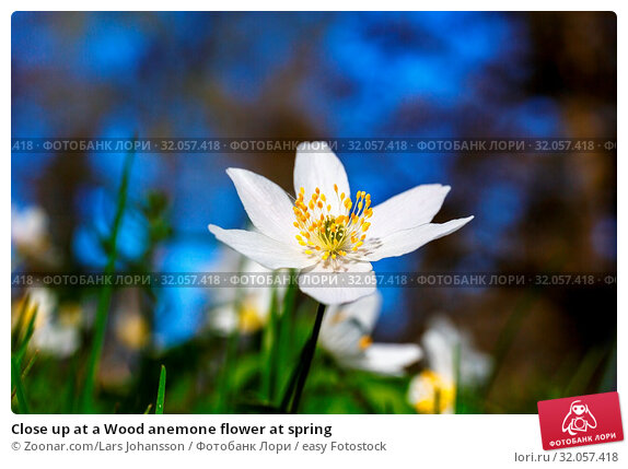 Close up at a Wood anemone flower at spring. Стоковое фото, фотограф Zoonar.com/Lars Johansson / easy Fotostock / Фотобанк Лори