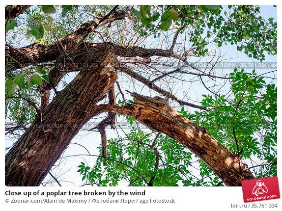 Close up of a poplar tree broken by the wind. Стоковое фото, фотограф Zoonar.com/Alain de Maximy / age Fotostock / Фотобанк Лори