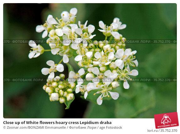 Close up of White flowers hoary cress Lepidium draba. Стоковое фото, фотограф Zoonar.com/BONZAMI Emmanuelle / age Fotostock / Фотобанк Лори