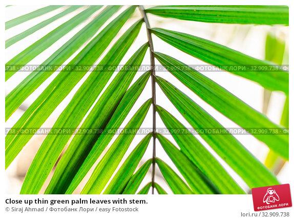 Close up thin green palm leaves with stem. Стоковое фото, фотограф Siraj Ahmad / easy Fotostock / Фотобанк Лори