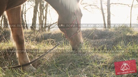 Close up view of graced calm horse nibbling grass on a lawn in the wood slow motion. Стоковое видео, видеограф Denis Mishchenko / Фотобанк Лори