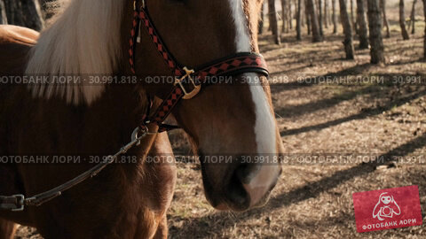 Close upview of a beautiful brown horse with white mane in a wood on sunrise slow motion. Стоковое видео, видеограф Denis Mishchenko / Фотобанк Лори