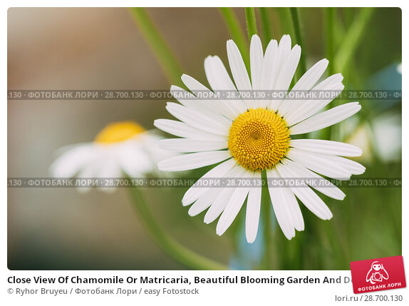 Купить «Close View Of Chamomile Or Matricaria, Beautiful Blooming Garden And Decorative White Flower With Yellow Inflorescence In The Center In Summer Spring.», фото № 28700130, снято 8 июня 2016 г. (c) easy Fotostock / Фотобанк Лори