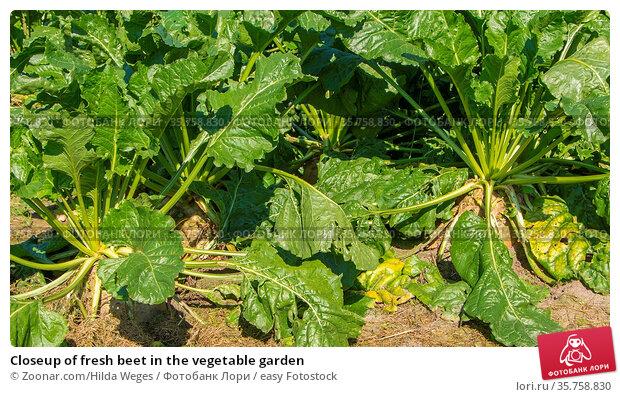 Closeup of fresh beet in the vegetable garden. Стоковое фото, фотограф Zoonar.com/Hilda Weges / easy Fotostock / Фотобанк Лори
