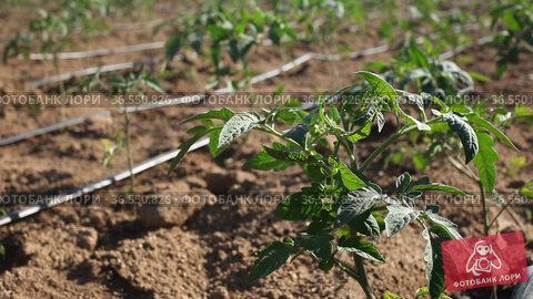 Closeup of young organic tomato seedlings growing on farm field on sunny day. Стоковое видео, видеограф Яков Филимонов / Фотобанк Лори