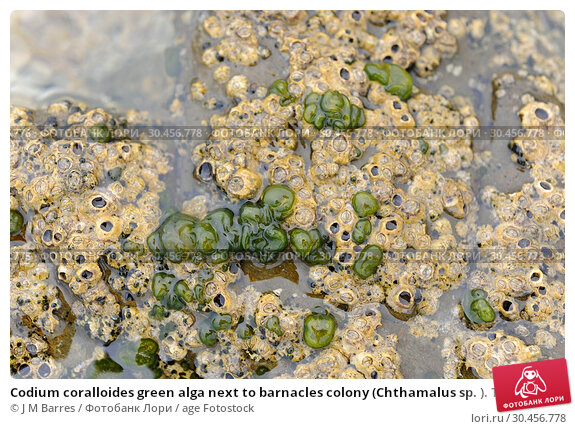 Codium coralloides green alga next to barnacles colony (Chthamalus sp. ). This photo was taken in Cap Ras coast, Costa Brava, Girona province, Catalonia, Spain. Стоковое фото, фотограф J M Barres / age Fotostock / Фотобанк Лори