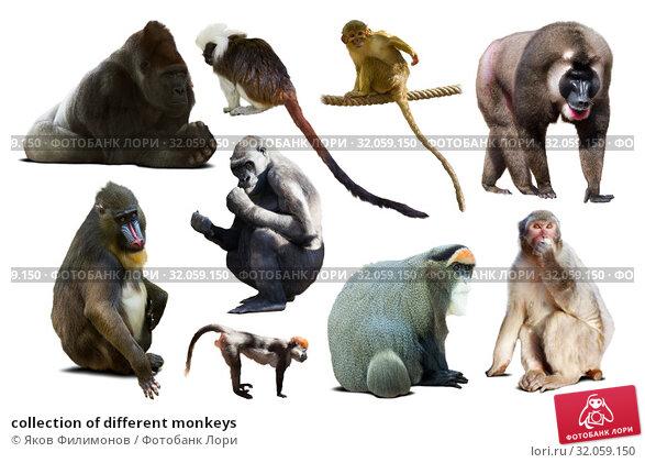 collection of different monkeys. Стоковое фото, фотограф Яков Филимонов / Фотобанк Лори