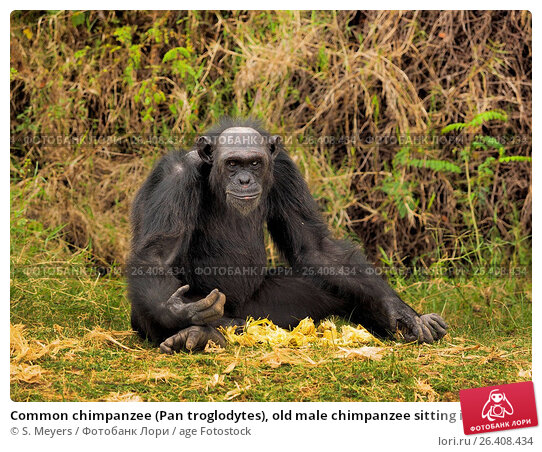 outgoing young male chimpanzees essay Synthetic primatology: what humans and chimpanzees do in a the young male akira often tried and yet imanishi concluded his essay with a surprising.