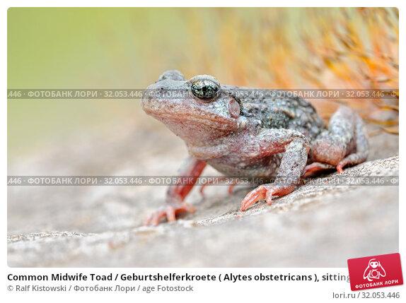 Common Midwife Toad / Geburtshelferkroete ( Alytes obstetricans ), sitting on rocks of an old quarry, frontal side view, detailed shot, Europe. Стоковое фото, фотограф Ralf Kistowski / age Fotostock / Фотобанк Лори