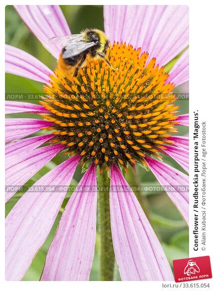 Coneflower / Rudbeckia purpurea 'Magnus'. Стоковое фото, фотограф Alain Kubacsi / age Fotostock / Фотобанк Лори