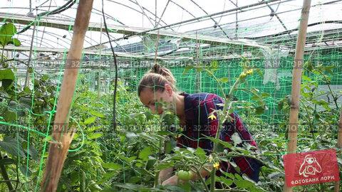 Купить «Confident woman farmer working in hothouse, fastening tomato plants on supporting netting», видеоролик № 32230302, снято 3 июня 2019 г. (c) Яков Филимонов / Фотобанк Лори
