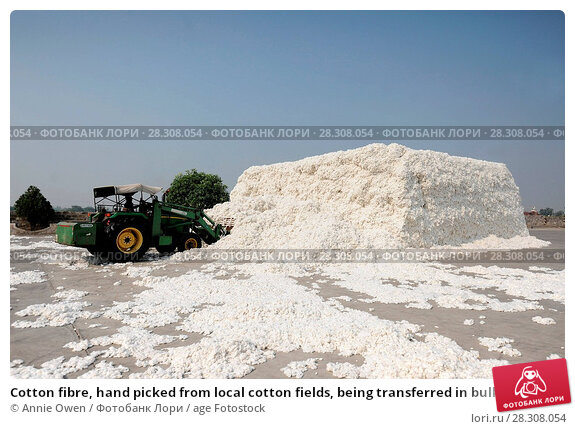Купить «Cotton fibre, hand picked from local cotton fields, being transferred in bulk by digger into the factory for processing, Gujarat, India, Asia», фото № 28308054, снято 20 ноября 2017 г. (c) age Fotostock / Фотобанк Лори