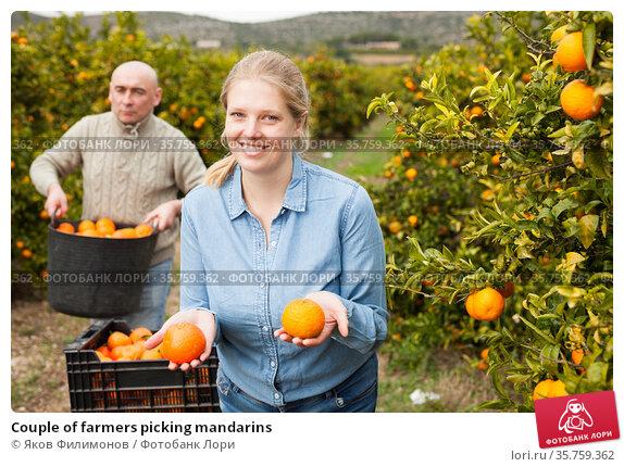 Couple of farmers picking mandarins. Стоковое фото, фотограф Яков Филимонов / Фотобанк Лори