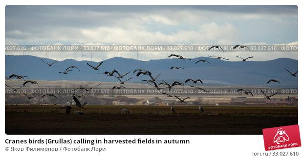 Купить «Cranes birds (Grullas) calling in harvested fields in autumn», фото № 33027610, снято 4 апреля 2020 г. (c) Яков Филимонов / Фотобанк Лори