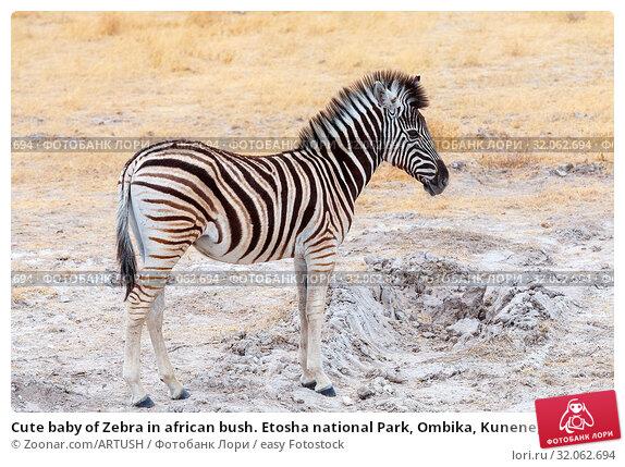 Cute baby of Zebra in african bush. Etosha national Park, Ombika, Kunene, Namibia. wildlife. Стоковое фото, фотограф Zoonar.com/ARTUSH / easy Fotostock / Фотобанк Лори