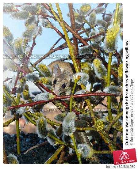 Купить «Cute mouse among the branches of flowering willow», фото № 30580930, снято 14 апреля 2019 г. (c) Евгений Харитонов / Фотобанк Лори