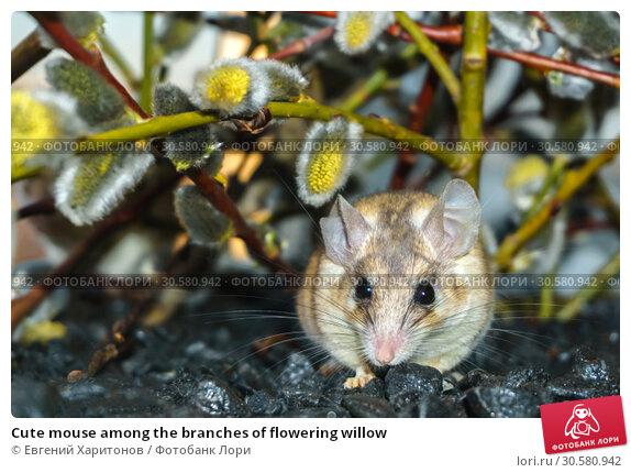 Купить «Cute mouse among the branches of flowering willow», фото № 30580942, снято 14 апреля 2019 г. (c) Евгений Харитонов / Фотобанк Лори