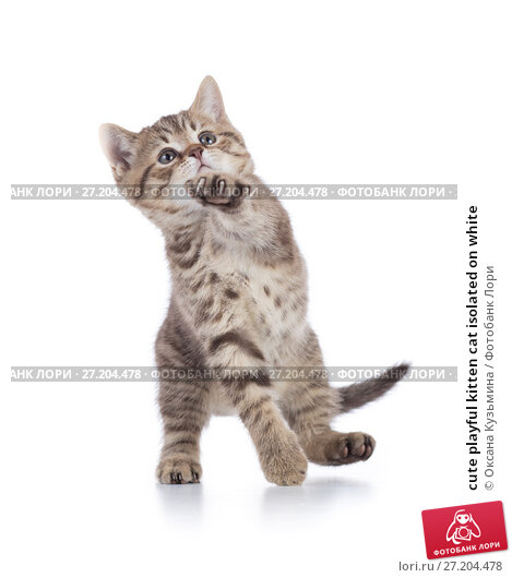 Купить «cute playful kitten cat isolated on white», фото № 27204478, снято 16 августа 2017 г. (c) Оксана Кузьмина / Фотобанк Лори