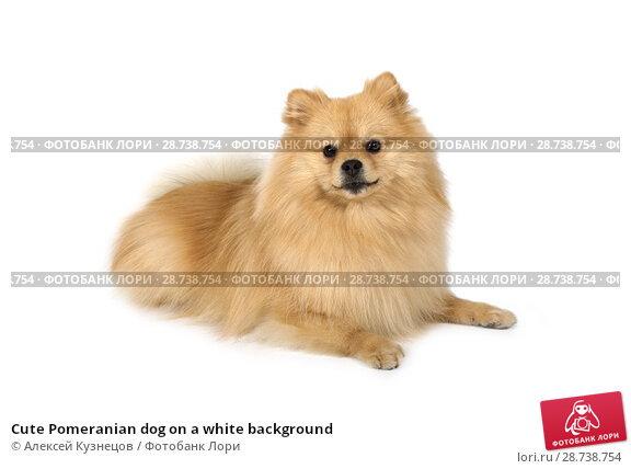 Купить «Cute Pomeranian dog on a white background», фото № 28738754, снято 26 июня 2018 г. (c) Алексей Кузнецов / Фотобанк Лори