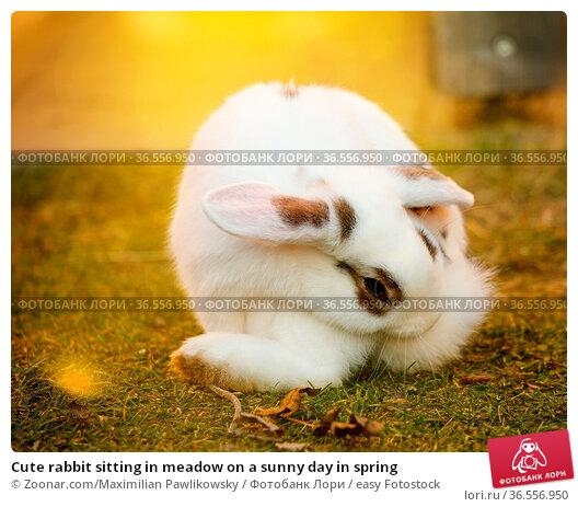 Cute rabbit sitting in meadow on a sunny day in spring. Стоковое фото, фотограф Zoonar.com/Maximilian Pawlikowsky / easy Fotostock / Фотобанк Лори