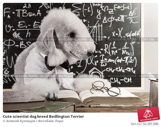 Купить «Cute scientist dog breed Bedlington Terrier», фото № 32391606, снято 5 ноября 2019 г. (c) Алексей Кузнецов / Фотобанк Лори