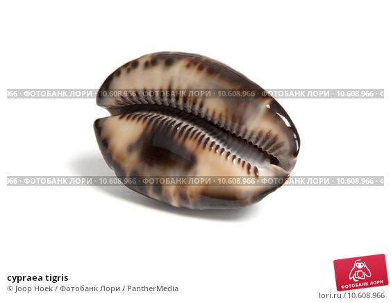 cypraea tigris. Стоковое фото, фотограф Joop Hoek / PantherMedia / Фотобанк Лори
