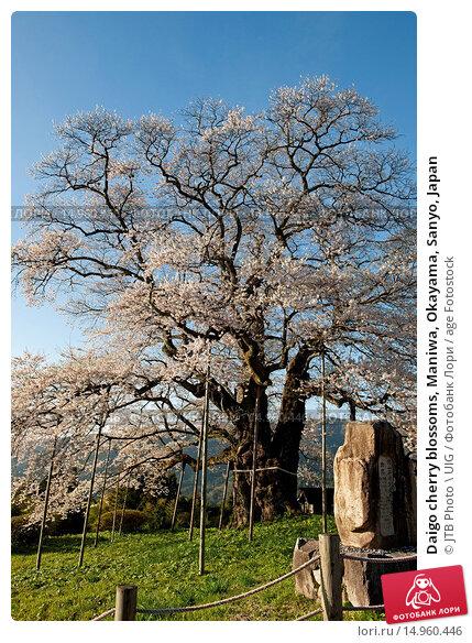 Купить «Daigo cherry blossoms, Maniwa, Okayama, Sanyo, Japan», фото № 14960446, снято 21 марта 2019 г. (c) age Fotostock / Фотобанк Лори