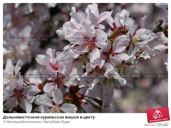 Дальневосточная курильская вишня в цвету, фото № 270282, снято 2 мая 2008 г. (c) Наталья Белотелова / Фотобанк Лори