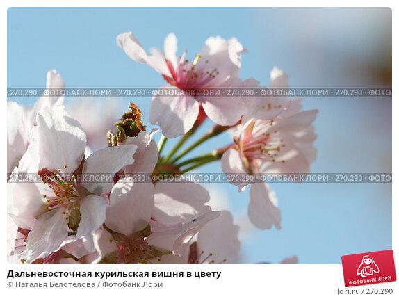Дальневосточная курильская вишня в цвету, фото № 270290, снято 2 мая 2008 г. (c) Наталья Белотелова / Фотобанк Лори