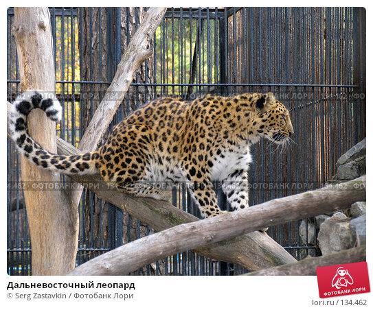 Дальневосточный леопард, фото № 134462, снято 10 октября 2004 г. (c) Serg Zastavkin / Фотобанк Лори