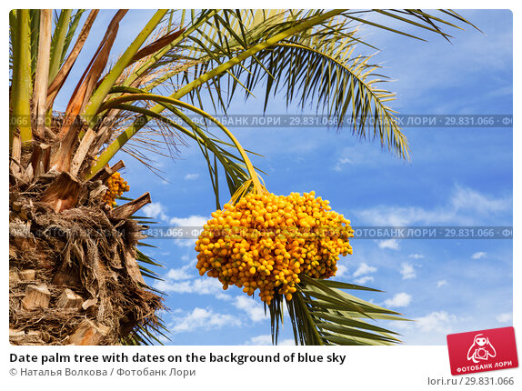 Купить «Date palm tree with dates on the background of blue sky», фото № 29831066, снято 26 ноября 2015 г. (c) Наталья Волкова / Фотобанк Лори
