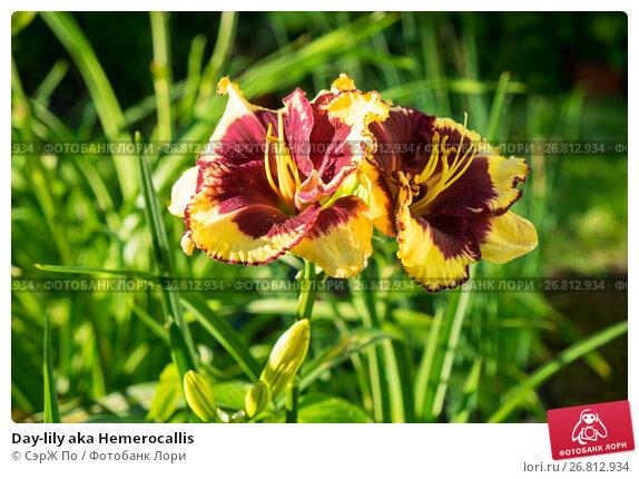 Купить «Day-lily aka Hemerocallis», фото № 26812934, снято 14 августа 2017 г. (c) СэрЖ По / Фотобанк Лори