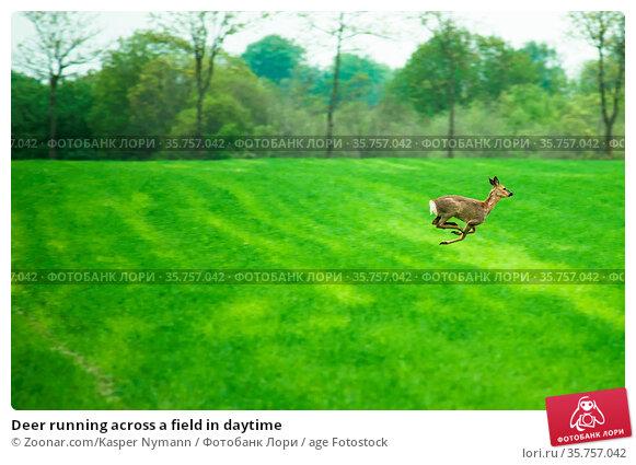 Deer running across a field in daytime. Стоковое фото, фотограф Zoonar.com/Kasper Nymann / age Fotostock / Фотобанк Лори