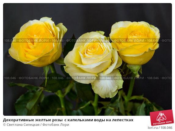 Декоративные желтые розы  с капельками воды на лепестках, фото № 108046, снято 29 октября 2007 г. (c) Светлана Силецкая / Фотобанк Лори